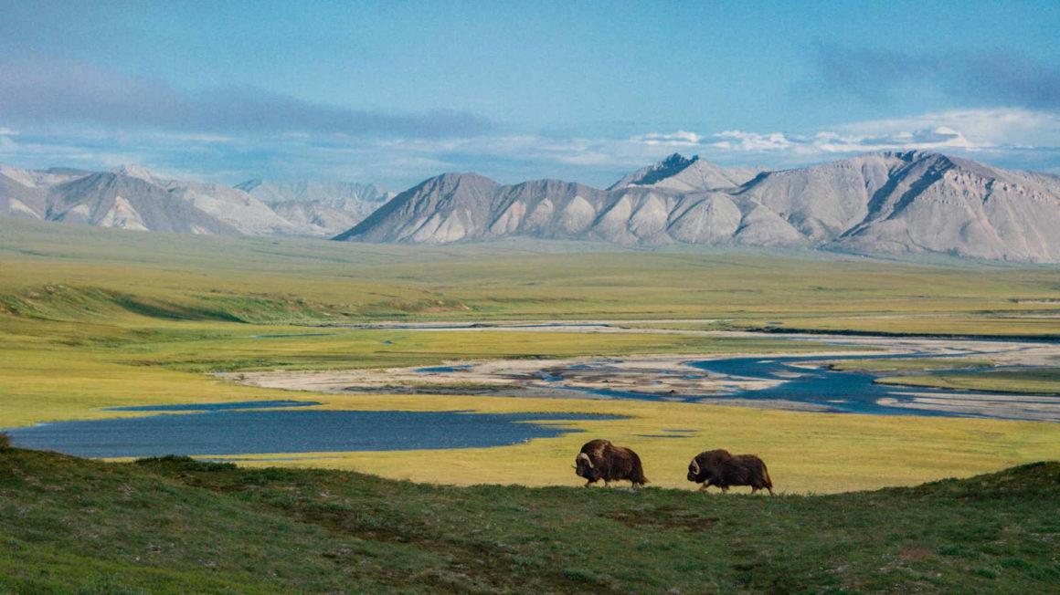 ALaska - arctic national wildlife refuge - mit Moschusochsen im Vordergrund