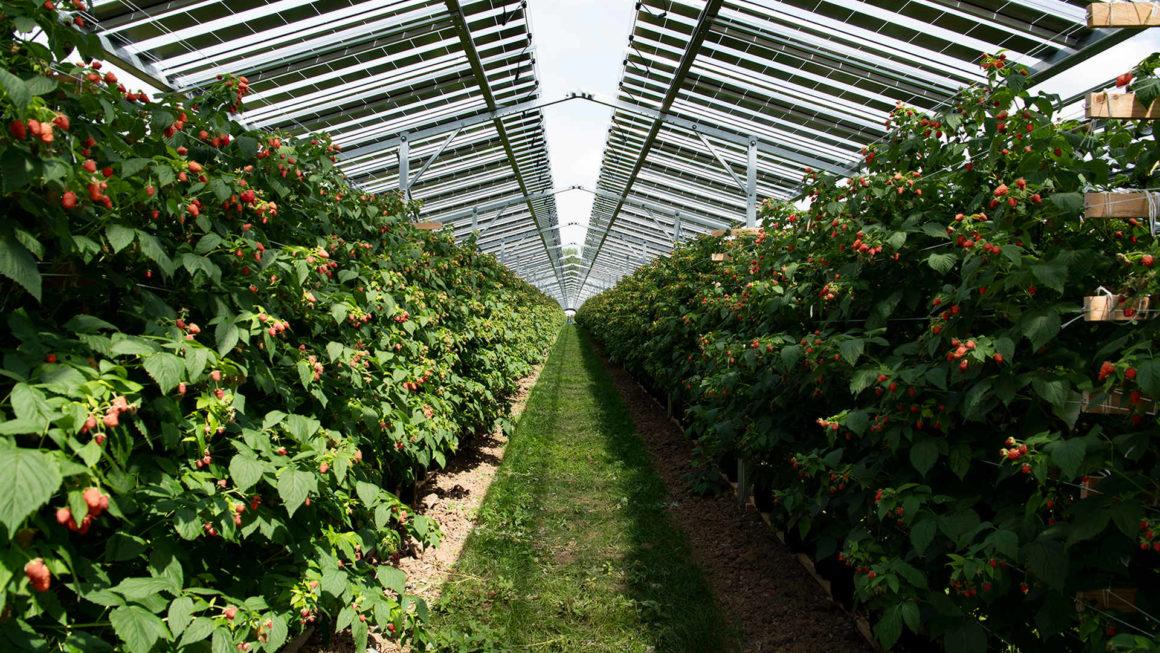 Agro-Photovoltaikanlagen - Himbeerplantage in den Niederlanden