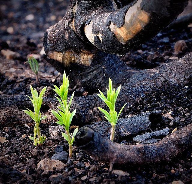 Zarte Vegetation nach Wildfeuer